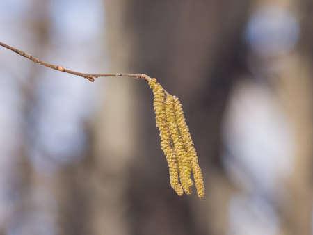 Hazelnut catkins on branch macro with bokeh background, selective focus, shallow DOF.