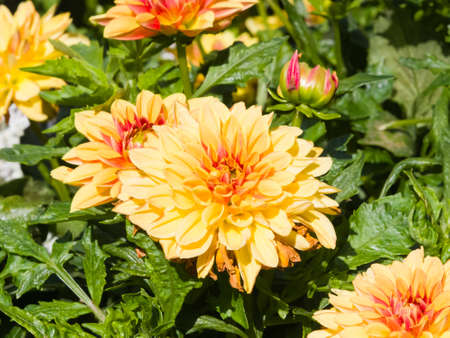 Red and yellow decorative dahlia flowers at flowerbed close-up, selective focus, shallow DOF. Stock Photo