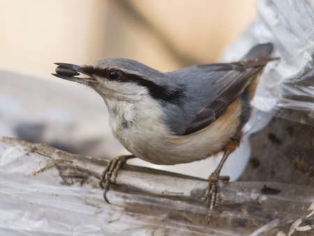 Eurasian or wood nuthatch, Sitta europaea, close-up portrait at bird feeder with seed in beak, selective focus, shallow DOF Stock Photo