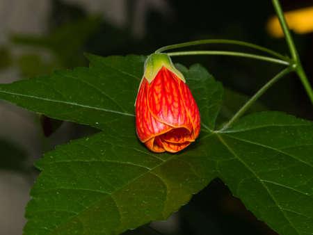 Red flower bud on leaf of abutilon hybrid close-up, selective focus. shallow DOF. Stock Photo