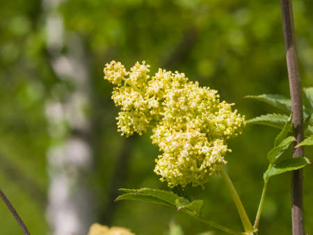 Flower buds and leaves of red elderberry, Sambucus Racenosa, on branch with bokeh background macro, selective focus, shallow DOF. Stock Photo