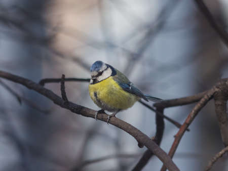 Eurasian blue tit Cyanistes caeruleus sitting in branches, twilight closeup portrait, selective focus, shallow DOF. Stock Photo