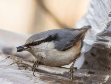 defended: Eurasian or wood nuthatch, Sitta europaea, close-up portrait at bird feeder with seed in beak, selective focus, shallow DOF Stock Photo