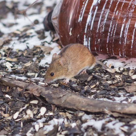 sitting on the ground: Striped Field Mouse, Apodemus agrarius, hiding on ground and searching for food close-up portrait, selective focus, shallow DOF.
