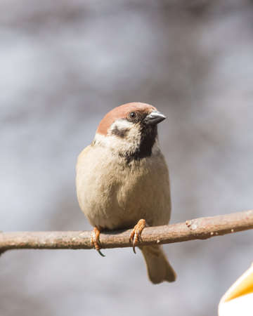 Eurasian Tree Sparrow, Passer montanus, close-up portrait in branches with bokeh background, selective focus, shallow DOF. Stock Photo - 75916204