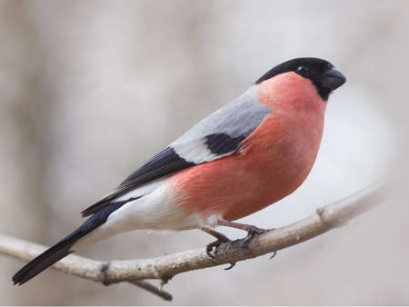 perched: Red-colored Male of Eurasian Bullfinch, Pyrrhula pyrrhula, close-up portrait on branch with bokeh background, selective focus, shallow DOF