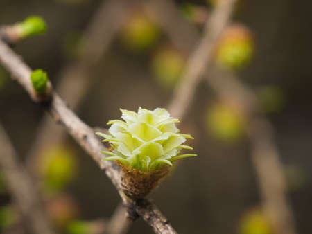 Siberian larch cone buds on branch in spring on bokeh background, selective focus, shallow DOF.