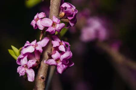 mezereum: Spurge laurel or Daphne mezereum poisonous plant bloom close-up with bokeh background, selective focus, shallow DOF.