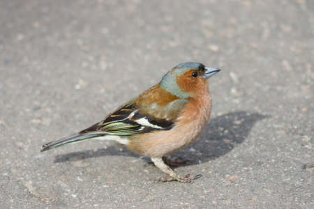 Male Common Chaffinch Fringilla coelebs, close-up side portrait on road, selective focus, shallow DOF.