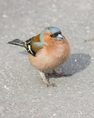 Male Common Chaffinch Fringilla coelebs, close-up portrait on road, selective focus, shallow DOF.