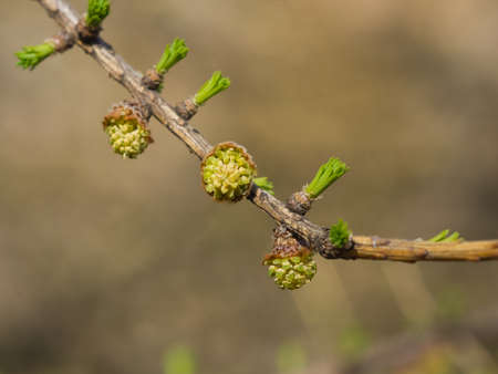 Siberian larch small pollen bud on branch in spring on bokeh background, selective focus, shallow DOF.