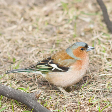 Male Common Chaffinch Fringilla coelebs singing, close-up portrait in dry grass, selective focus, shallow DOF.