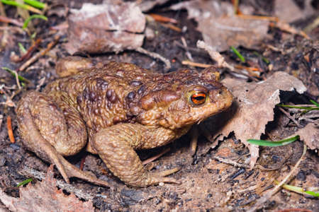 Common or European toad, Bufo bufo, in early spring close-up portrait on ground, selective focus, shallow DOF.