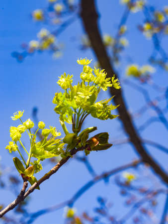 Blooming Norway Maple or Acer platanoides, flowers with blurred background macro, selective focus, shallow DOF.