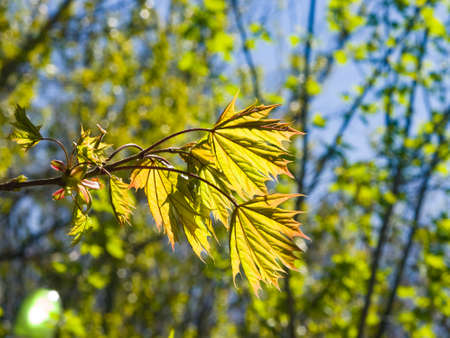Leaves of norway maple tree backlited by sunlight, selective focus, shallow DOF. Stock Photo