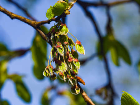 Seeds riping on branch of European white elm or Ulmus laevis, close-up, selective focus, shallow DOF. Stock Photo
