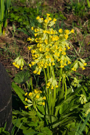 Primrose cowslip or Primula veris blossom close-up, selective focus, shallow DOF.