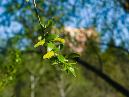 Brittle willow, Salix fragilis, blossom in spring with bokeh background, selective focus, shallow DOF.