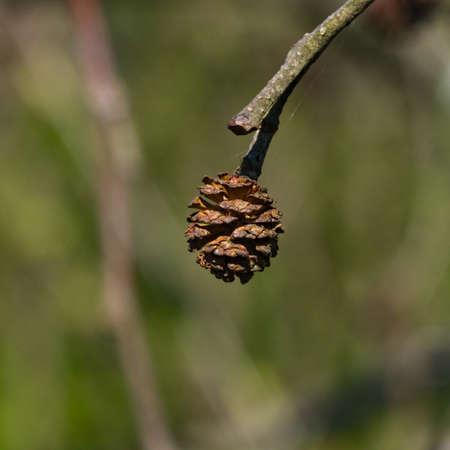 Mature cones on branch Black alder or Alnus glutinosa close-up, selective focus, shallow DOF.