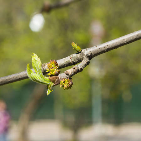 Blossom of European or Common Ash, Fraxinus excelsior, with bokeh background macro, selective focus, shallow DOF. Stock Photo