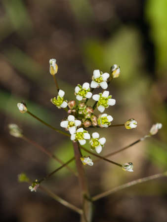 Shepherds-purse or Capsella bursa-pastoris flowers close-up, selective focus, shallow DOF. Stock Photo