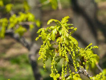 男性と英語のオークの木やコナラのロバーの花の花クローズ アップ、選択的なフォーカス、浅い。