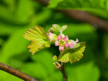 Flowers of blackcurrant on branch with bokeh background macro, selective focus, shallow DOF. Stock Photo