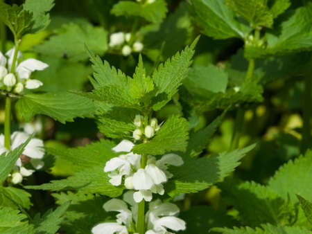 maleza: White dead-nettle, Lamium album, in weed blooming close-up, selective focus, shallow DOF.