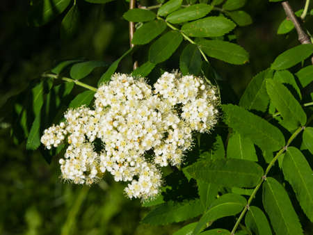 White flowers and leaves of blossoming rowan tree, sorbus aucuparia, close-up, selective focus, shallow DOF.