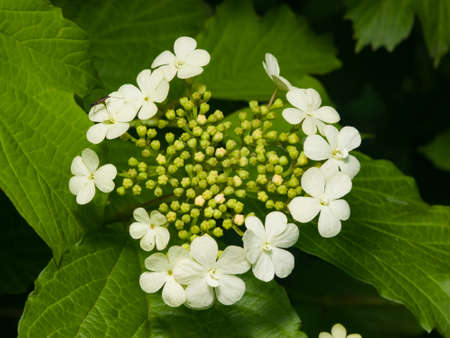 Blooming Guelder rose, Viburnum opulus, flowers and buds close-up, selective focus, shallow DOF. Stock Photo