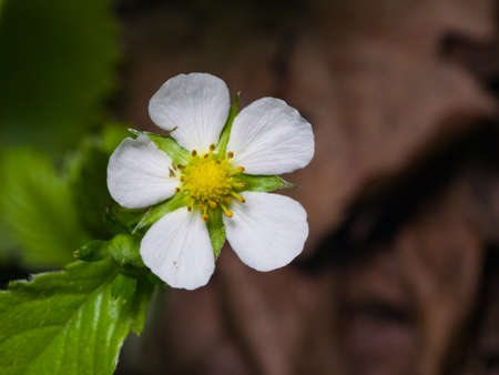 Wild strawberry flower with white petals and jagged leaves close-up, selective focus, shallow DOF.