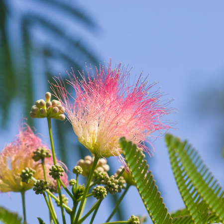 Flowers and buds on blooming Persian silk tree, Albizia julibrissin, with bokeh background, close-up, selective focus, shallow DOF 版權商用圖片