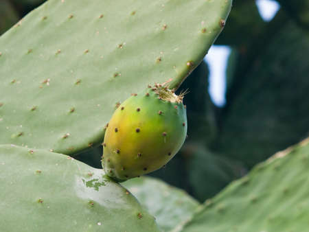 Riping fruit on Prickly pear or Opuntia ficus-indica in wild close-up, selective focus, shallow DOF Stock Photo
