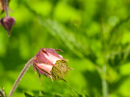 Water avens, geum rivale fluffy flowers and buds on stem macro with bokeh background, selective focus, shallow DOF. Stock Photo