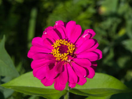 Pink flower of Youth-and-age, Zinnia elegans, macro, selective focus, shallow DOF. Stock Photo