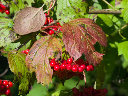 Red berries of a Guelder rose, Viburnum opulus, close-up selective focus, shallow DOF.