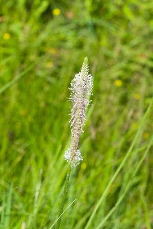 Hoary Plantain Plantago media blossom in weed, macro, selective focus, shallow DOF. Imagens