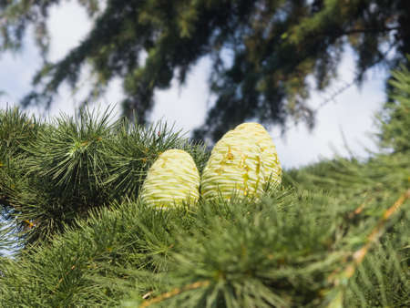 pinaceae: Pine cones in needles on a Cedar of Lebanon or Cedrus Lebani close-up, selective focus, shallow DOF.