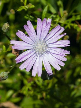 Flower of Cicerbita prenanthoides close-up, selective focus, shallow DOF.