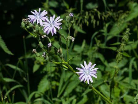 Flowers of Cicerbita prenanthoides close-up, selective focus, shallow DOF.