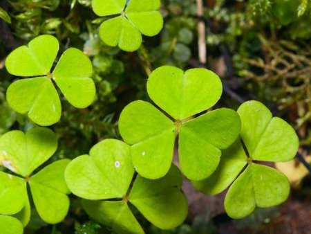 Common Wood Sorrel Oxalis acetosella leaves texture macro, selective focus, shallow DOF.