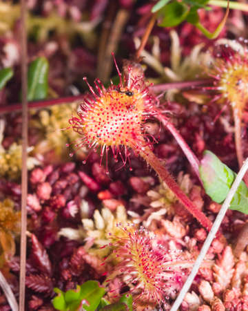Round-leaved sundew or Drosera rotundifolia macro, selective focus, shallow DOF.