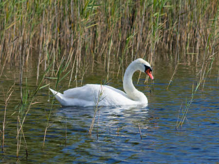 Mute swan, Cygnus olor, swimming in lake betweed reeds close-up portrait, selective focus, shallow DOF.