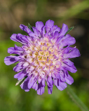 lavender coloured: Flower of Field Scabious, Knautia Arvensis, with dark bokeh background macro, selective focus, shallow DOF.