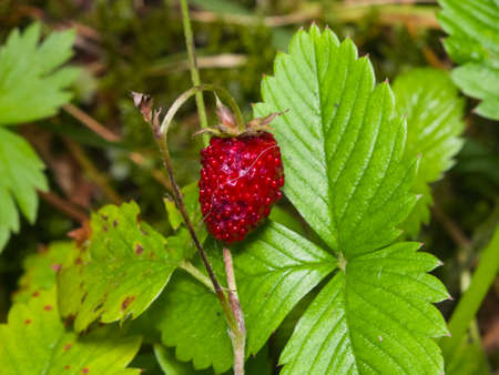 Red Fragaria Or Wild Strawberry on branch with leaf macro, selective focus, shallow DOF.