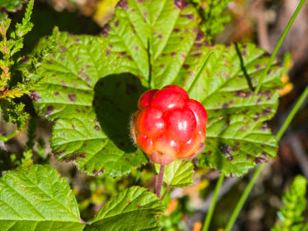 Riping cloudberry or Rubus chamaemorus at swamp in wild, berry macro, selective focus, shallow DOF. Stock Photo
