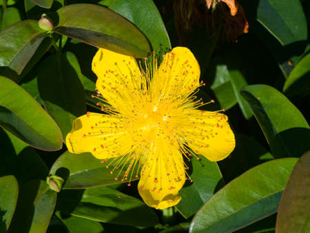 St johns wort or yellow rose of sharon hypericum calycinum st johns wort or yellow rose of sharon hypericum calycinum flower close mightylinksfo