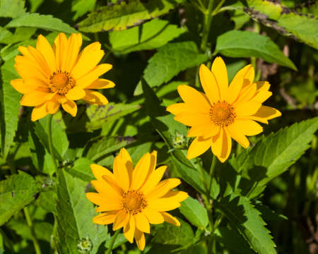 Jerusalem Artichoke, Sunroot, Topinambour, Earth Apple or Helianthus tuberosus yellow flowers close-up, selective focus, shallow DOF.