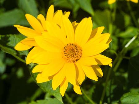 Jerusalem Artichoke, Sunroot, Topinambour, Earth Apple or Helianthus tuberosus yellow flower close-up, selective focus, shallow DOF. Stock Photo