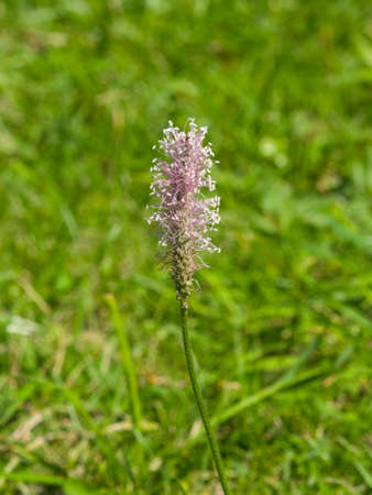 plantain herb: Hoary Plantain Plantago media blossom in weed, macro, selective focus, shallow DOF. Stock Photo
